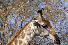 Free Giraffe Face Royalty Free Stock Photography - 4435067