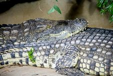 Free Nile Crocodile 1 Royalty Free Stock Images - 4435949