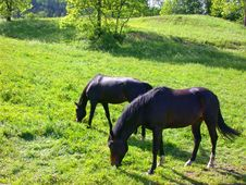 Two Horses Grazing In A Field Royalty Free Stock Image