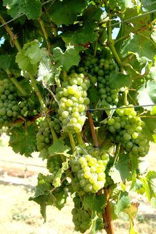 Free Green Or White Grapes On The Vine Stock Image - 4437251