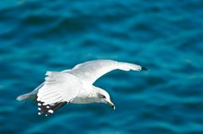 Free Seagull Gliding In The Air Stock Photography - 4437682