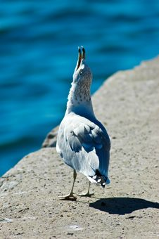 Free Seagull Singing Royalty Free Stock Photo - 4437695