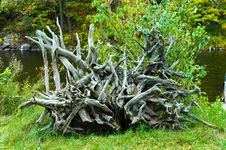 Free Dead Tree Root Stock Photography - 4437882