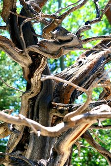 Free Gnarled Limbs Of A Tree Stock Images - 4438064