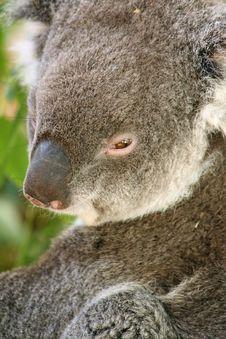 Free Koala Stock Photos - 4438553