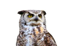 Free Great Horned Owl Isolated Royalty Free Stock Photo - 4439085