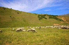Free Passing Themselves Sheep Stock Image - 4439301