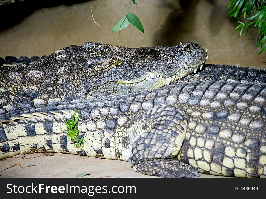 Nile crocodile 1