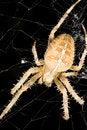 Free Orb Weaver Spider Found Near Seattle Washington Stock Photography - 4447632