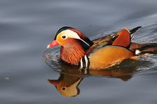 Free Mandarin Duck Royalty Free Stock Photography - 4440217