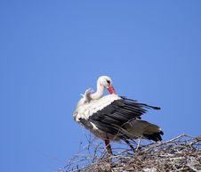 Free White Stork ( Ciconia Ciconia ) Royalty Free Stock Images - 4440279