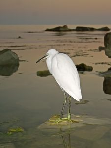 Free Great Egret ( Ardea Alba ) Stock Photography - 4440392