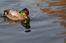 Pochard Duck Royalty Free Stock Photos