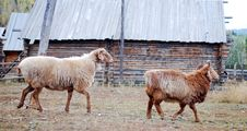 Free 2 Sheep Before A House Royalty Free Stock Photography - 4441897