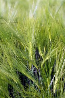 Free Green Wheat Stock Photo - 4442440