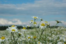 Free Chamomile Field Stock Images - 4442514