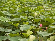 Free Chinese Water Lilies Stock Images - 4443284