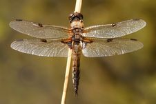 Four-spotted Dragonfly Royalty Free Stock Photos