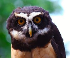 Free Spectacled Owl Royalty Free Stock Image - 4443506