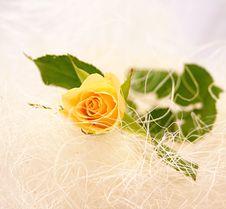 Free Yellow Rose Stock Photos - 4443513
