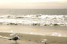 Free Gull In Surf Stock Images - 4443994