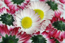 Free Close-up Of Daisies Royalty Free Stock Photo - 4445135
