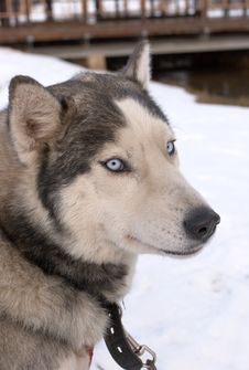 Huskie Kindest Of Breeds Of Northern Draught Dogs Royalty Free Stock Photos