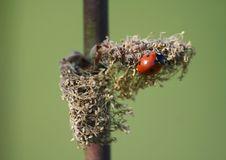 Free Ladybug Stock Image - 4445251