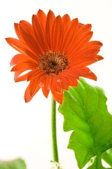 Free Red Gerbera Closeup Stock Images - 4446644