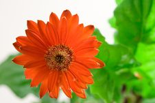 Free Red Gerbera Closeup Stock Photography - 4446722
