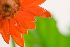 Red Gerbera Macro Royalty Free Stock Photo