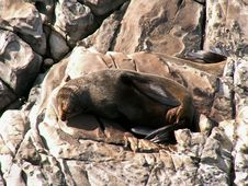 Free Resting NZ Fur Seal Stock Photo - 4446930