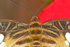 Free Butterfly Head Royalty Free Stock Image - 4449446