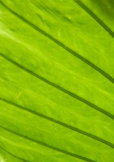 Free Green Leaf Structure Abstract Royalty Free Stock Image - 4449636
