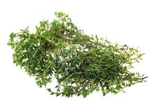 Free Fresh Thyme Herb Stock Photography - 4449692
