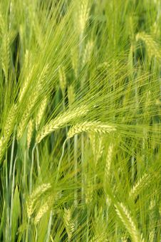 Free Green Wheat Stock Photos - 4449773