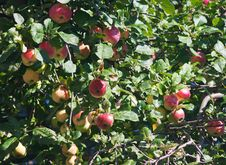Free Apple Tree With Ripe Apples Royalty Free Stock Photos - 44403608