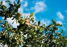 Free Branch With Ripe Apples Royalty Free Stock Photo - 44403615