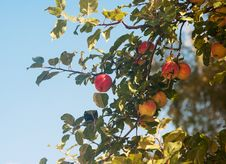 Branch With Ripe Apples In Autumn Stock Photo