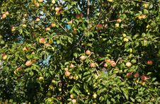 Free Apple Tree With Ripe Apples In Autumn Royalty Free Stock Image - 44403626