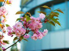 Blooming Plum Branch Stock Image