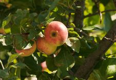 Branch With Three Ripe Apples In Autumn Royalty Free Stock Image