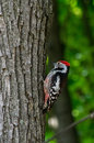 Free Woodpecker In The Forest Royalty Free Stock Images - 44498169