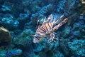 Free Lion Fish Stock Image - 4450941