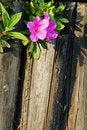 Free Azalea And Wooden Fence Royalty Free Stock Photo - 4455525