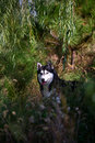 Free Husky Dog Royalty Free Stock Images - 4457309