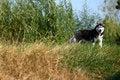 Free Husky Dog Royalty Free Stock Image - 4457376
