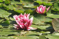 Free Pink Water Lilies Royalty Free Stock Image - 4457756