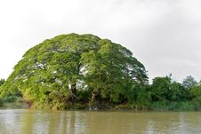 Free Tall Tree Growing On Mekong River Stock Photography - 4450262