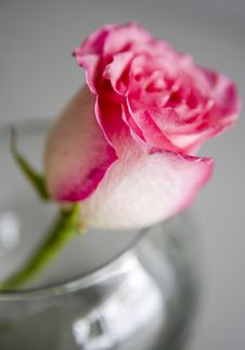 Free Rose For A Lady Royalty Free Stock Photos - 4450618